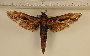 Morpheis xylotribus mâle