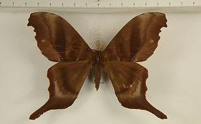 Paradaemonia platydesmia platydesmia mâle