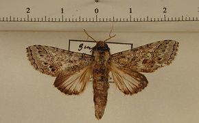 Sericochroa extranea mâle