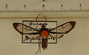 Poecilosoma chrysis chrysis mâle