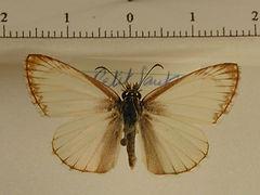Heliopetes arsalte mâle