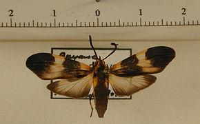 Correbidia calopteridia mâle