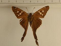 Chioides catillus catillus mâle