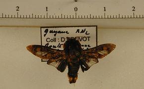 Phobetron hipparchia mâle