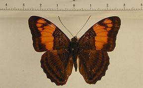 Adelpha mesentina mesentina mâle