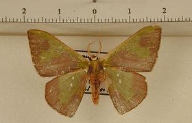 Oospila lilacina mâle