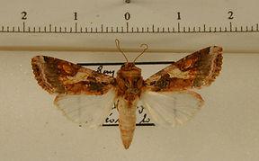 Spodoptera descoinsi mâle