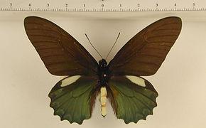 Battus belus belus mâle