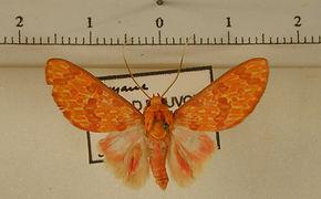 Eriostepa bacchans mâle