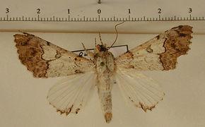 Orodesma apicina apicina mâle