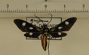 Calonotos acutipennis mâle