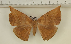 Herbita cyclopeata mâle