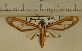 Robinsonia rockstonia mâle