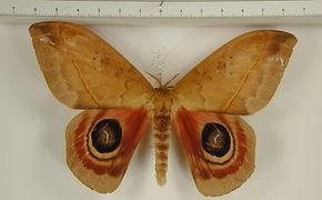 Automeris janus mâle