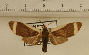 Pryteria semicostalis mâle