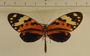 Melinaea mnasias eratosthenes femelle