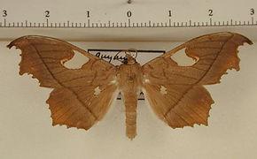 Midila quadrifenestrata subfuscifusa mâle