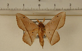 Druentica partha mâle