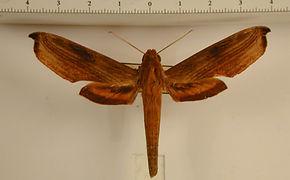 Xylophanes haxairei mâle