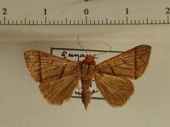 Deinopa sp. mâle