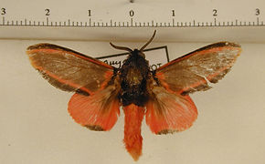 Edebessa circumcincta mâle