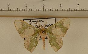 Oospila albicoma albicoma mâle