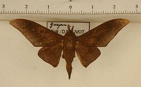 Psychocampa concolor mâle