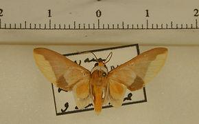 Hyperandra appendiculata appendiculata mâle
