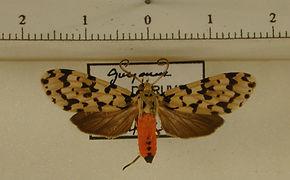 Eucereon quadricolor mâle