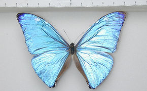 Morpho marcus mâle