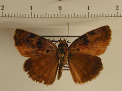Chiomara basigutta mâle