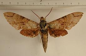 Manduca vestalis mâle