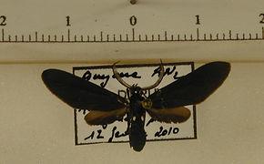Psoloptera leucosticta mâle