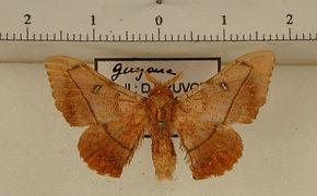 Cicinnus xingua mâle