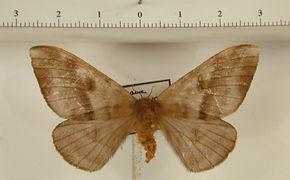 Hylesia rosacea thaumex femelle