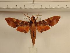 Callionima inuus mâle