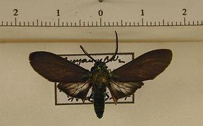 Episcepsis scintillans mâle