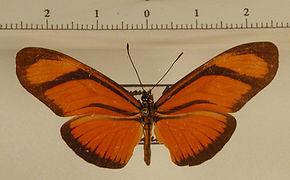 Eueides aliphera aliphera mâle