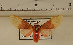 Eucyrta albicollis mâle