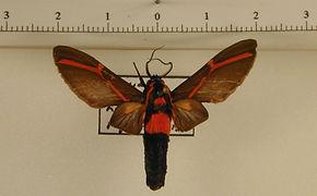 Himerarctia docis mâle