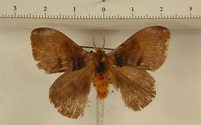Hylesia haxairei mâle