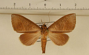 Strophocerus flocciferus mâle