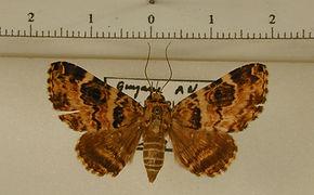 Coenipeta tanais mâle