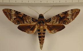 Pseudosphinx tetrio mâle