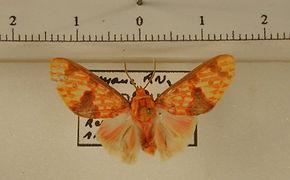 Eriostepa roseireta mâle