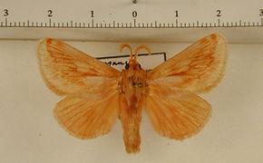 Perola affinis mâle