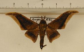 Psychocampa styx mâle
