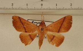 Obroatis roseipalpis mâle