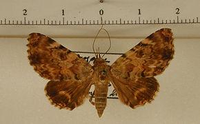 Coenipeta aniloba mâle