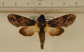 Nystalea multiplex mâle